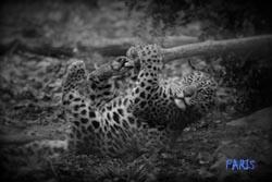 leopard-cparis-site